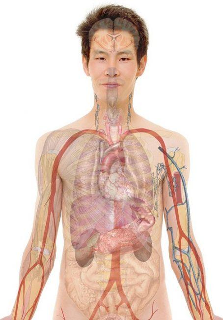 Наши органы работают слаженно, они обеспечивают бесперебойную работу всего организма