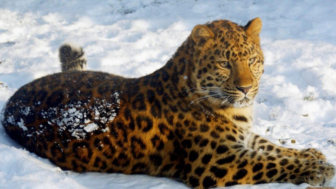 Дальневосточный (амурский) леопард