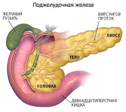 Поджелудочная железа вырабатывает ферменты, которые расщепляют всех питательные вещества