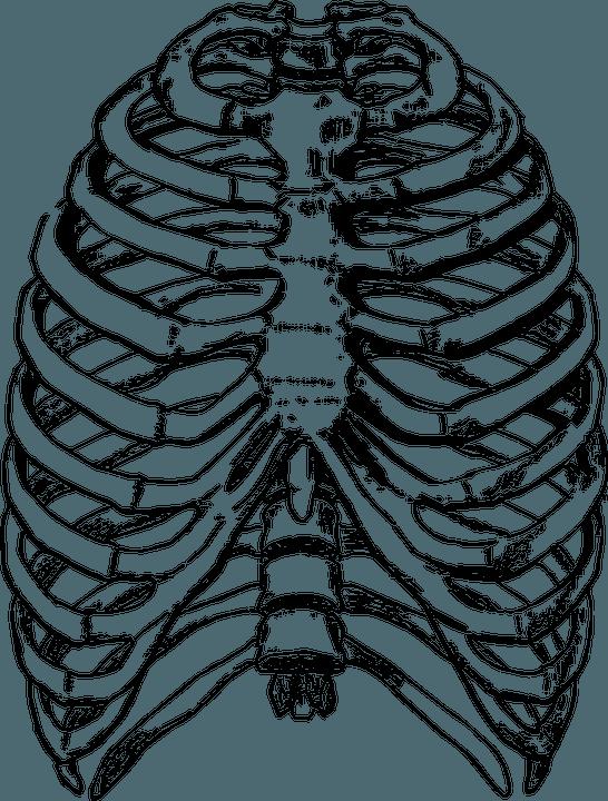 Грудная клетка надёжно защищает сердце