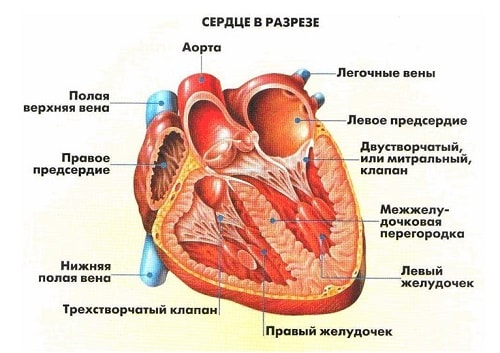 Как и у других млекопитающих, сердце человека четырёхкамерное; состоит из двух предсердий (верхняя часть сердца) и двух желудочков (нижняя часть сердца).