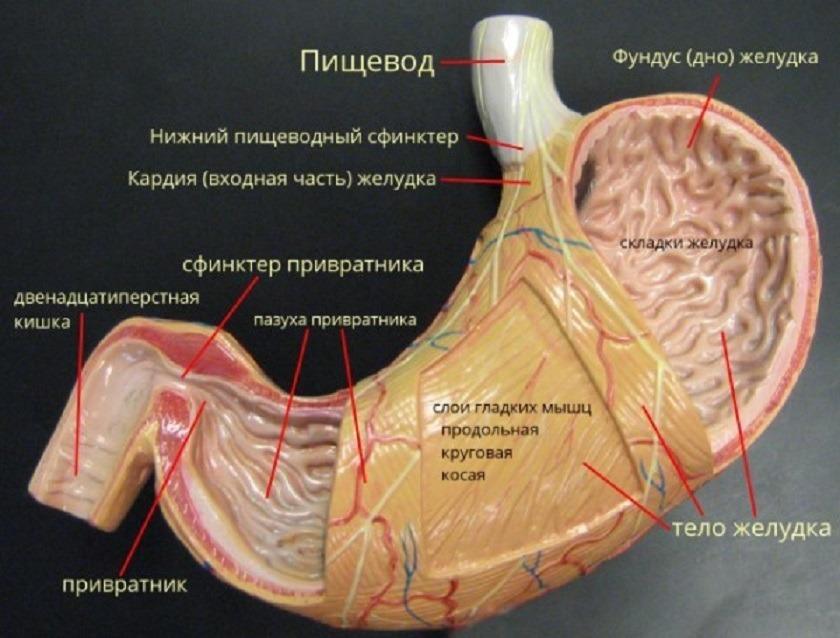 Анатомическое строение желудка человека