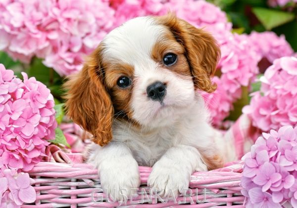 Девушки просто обожают щенков