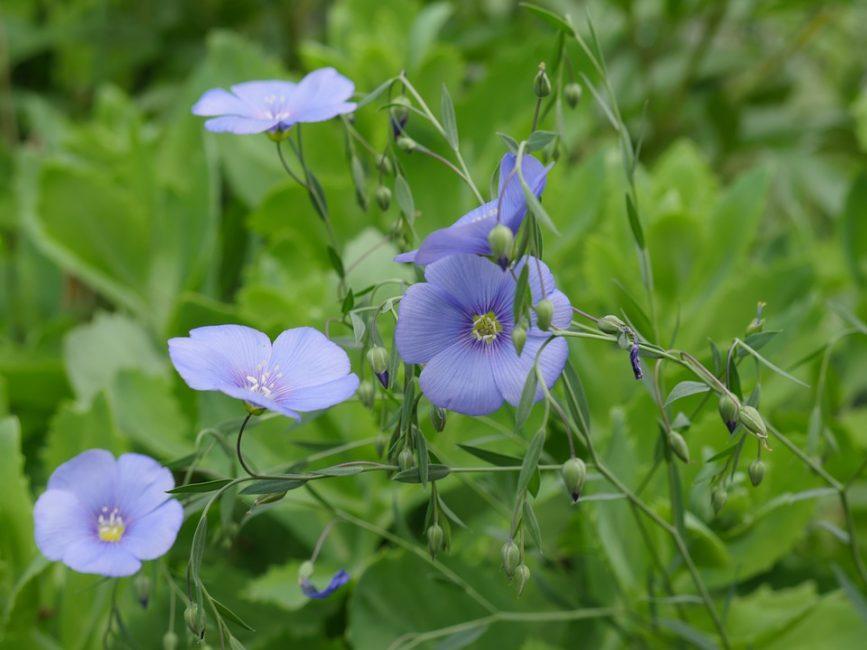 Лен – это растение, которое люди с давних времен использовали в своем хозяйстве. Из него изготавливали ткань, пряжу, и полезное диетическое масло