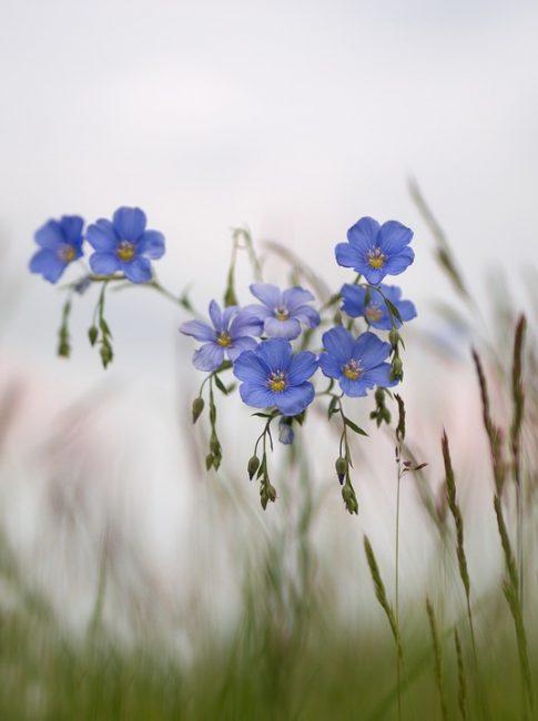 Цветение льна