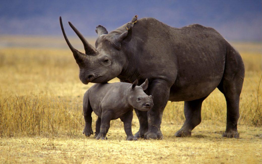 Детеныш черного носорога с мамой