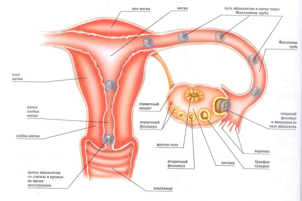 Путь яйцеклетки в женских половых органах