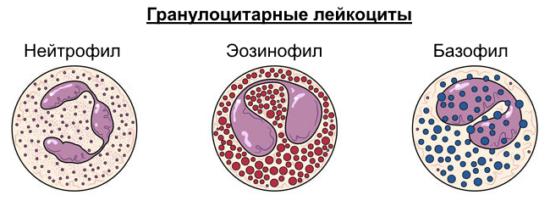 Гранулоциты
