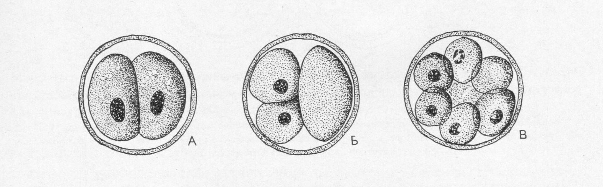 Дробление человеческой яйцеклетки. А, Б - 2ой день развития, В - 3ий день развития