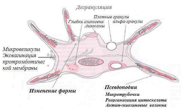 Строение тромбоцита крови