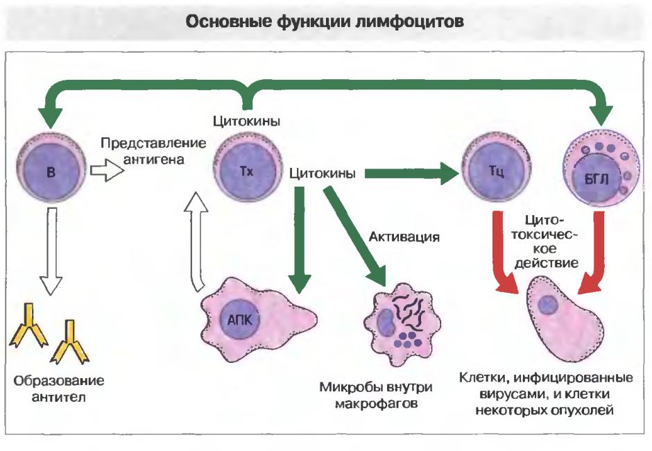 Схема работы лимфоцитов