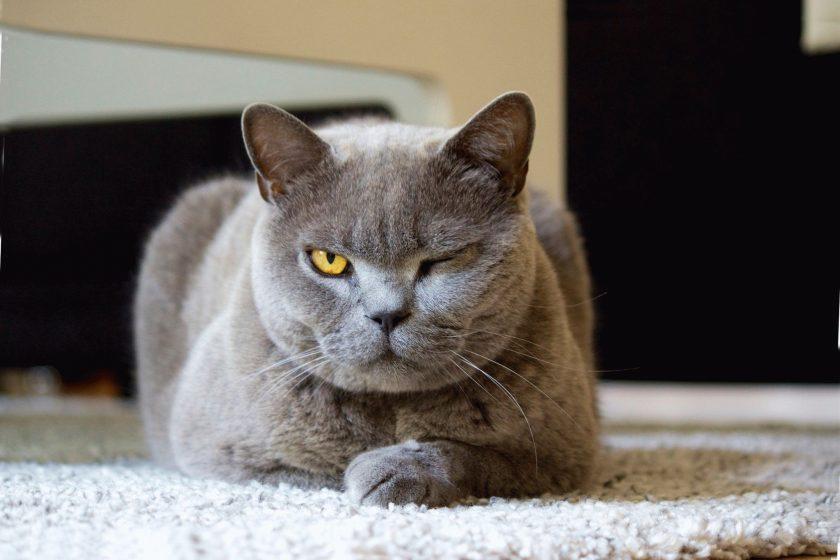 Лишай у котов как выглядит thumbnail