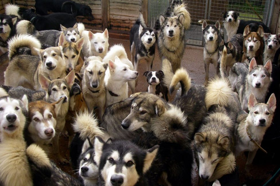 Свора собак