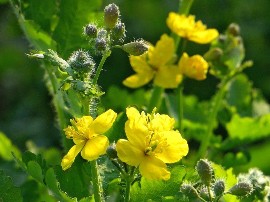 Чистотел - трава эффективная в лечении всех видов грибка