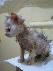 Как выглядит лишай у кошек. Признаки и лечение стригущего лишая. 5 видов заболевания + 65 ФОТО